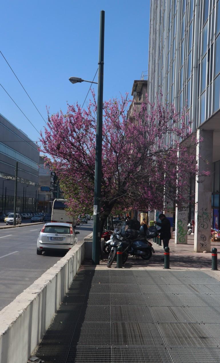 kirsebærtræ